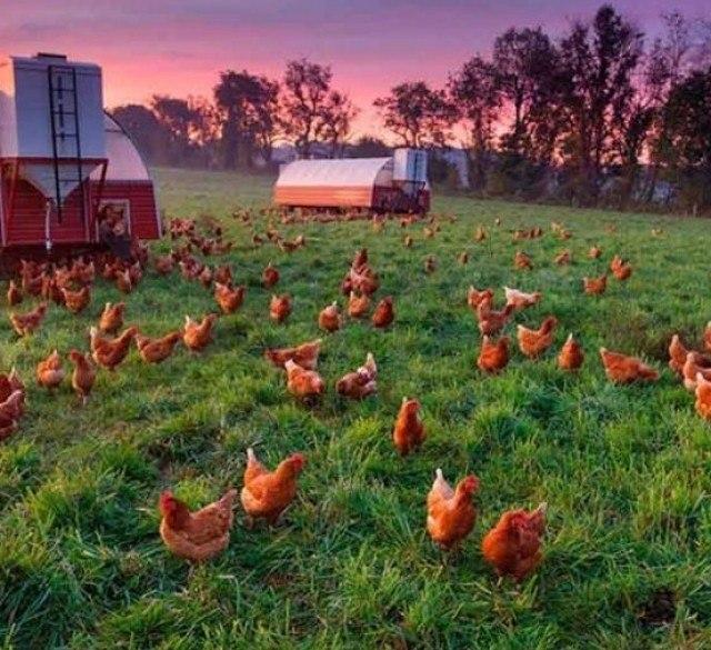 кфх по выращиванию домашней птицы солить салаку домашних